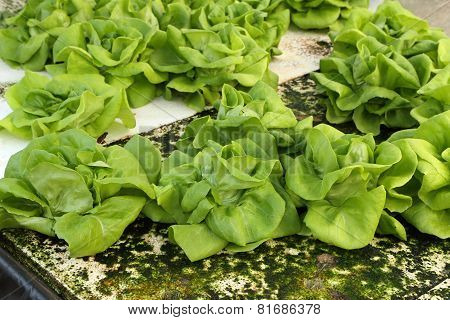 Butter Head, Hydroponics Green Vegetable In Farm