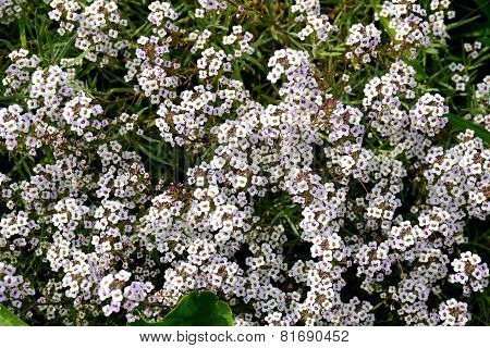 A Sea Of Small White Flowers