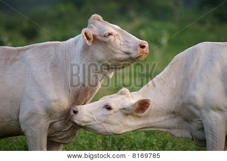 Two white cows