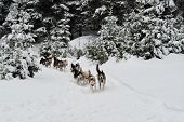 picture of sled-dog  - Alaskan dog sled running in winter wood.
