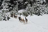 image of sled-dog  - Alaskan dog sled running in winter wood. ** Note: Shallow depth of field - JPG