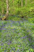 image of harebell  - Beautiful landscape with Bluebell flowers in spring forest - JPG
