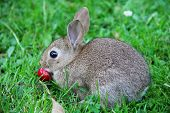 stock photo of wild-rabbit  - Cute gray wild baby rabbit in grass eating cherry - JPG