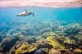 image of aquatic animal  - Reef with a variety of hard and soft corals and shark in the background - JPG