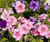 picture of petunia  - Flower bed with many flowers petunia of pink colour and some violet - JPG