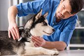 picture of medical examination  - Veterinarian is examining a cute siberian husky at hospital - JPG