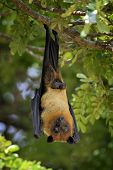 stock photo of genital  - Black flying-foxes (Pteropus alecto) hanging in a tree