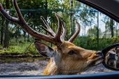 foto of deer horn  - handsome male Sika deer with huge horns sees itself in the mirror of a car, amid pine-birch forest