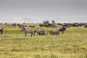 image of wildebeest  - A Wildebeest mother and newly born calf in nature Tanzania - JPG