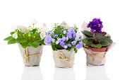 foto of blue-bell  - blue Campanula terry blue and white Saintpaulias flowers in paper packaging isolated on white background - JPG