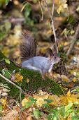 image of walnut-tree  - A red squirrel perched in a tree eating a walnut - JPG