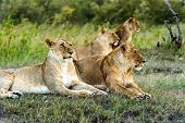 foto of african lion  - Lion in the African savannah Masai Mara
