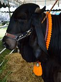 picture of zebu  - Black cow in a contest for animals. ** Note: Soft Focus at 100%, best at smaller sizes - JPG
