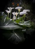 pic of phallic  - Group of calla lilies in light with large textured leaves black vignette and copy space - JPG