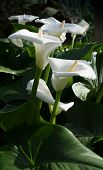 picture of calla  - White calla lilies vertical image - JPG