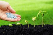 stock photo of seed  - hand giving chemical fertilizer to plants growing in sequence of seed germination on soil - JPG