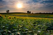 picture of kansas  - Sunflower farm field at sunset in Kansas - JPG