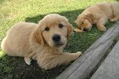 foto of golden retriever puppy  - A golden retriever puppy looks at the camera as its sibling slumbers in the background - JPG