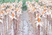 stock photo of corn stalk  - Sun dried corn in a field of corn - JPG