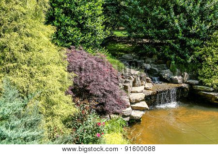 Japanese Maples On Edge Of Stream