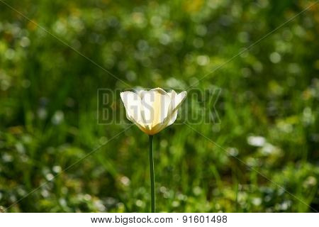 Single tulip on green meadow