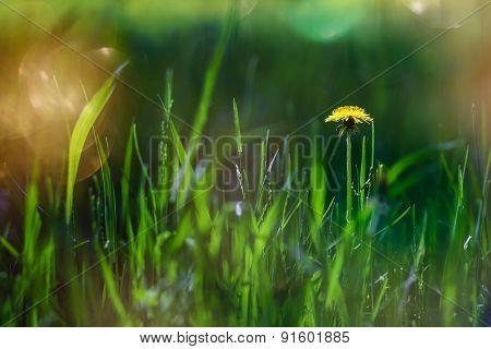 The Dandelion Meets Dawn.