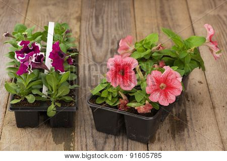 Two plastic flowerpots with pink and violet petunia seedlings on the aged wooden table.