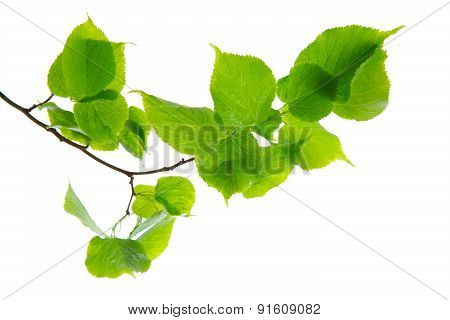Green Birch Leaves Isolated.