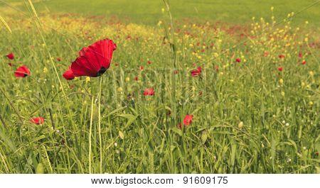 Poppy On Poppy Field.ismailli. Mountains. Azerbaijan