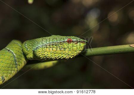 Borneo Pit Viper