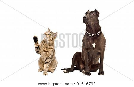 Dog breed Staffordshire Terrier and playful cat Scottish Straight