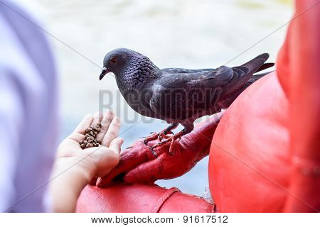 Hand Feeding The Feral Pigeon