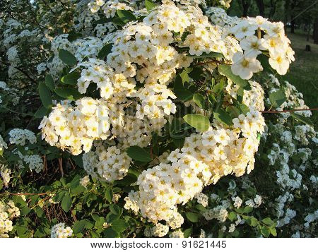 White Flowers On A Bush On The Park