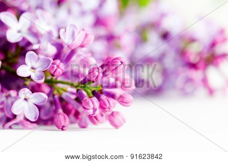 Young spring lilac flowers blooming close-up on white. Syringa vulgaris
