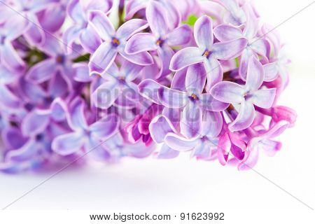 Purple spring lilac flowers blooming close-up on white. Syringa vulgaris