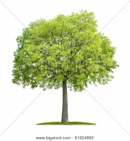 Celtis Australis Isolated On A White Background