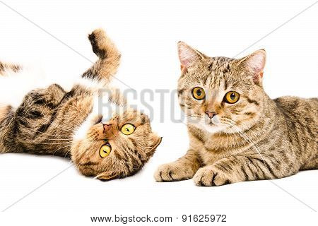 Portrait of  cats Scottish Fold and Scottish Straight closeup