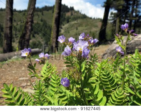Jacob's Ladder Flowers on Mountain Ridge
