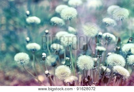 Beautiful dandelion seeds in meadow