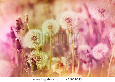 Dandelion seeds in meadow