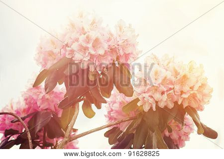 Closeup Of A Purple Rhododendron Flower In Sunlight
