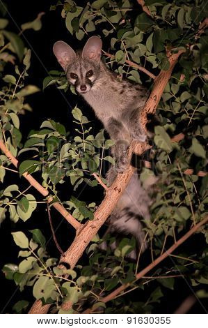 Genet With Spots Hiding In Tree At Night