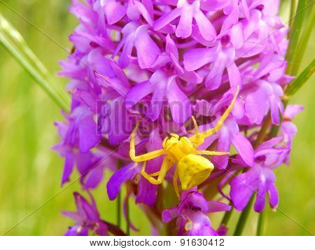 Yellow Crab Spider (Misumena vatia)