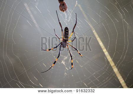 Golden Orb Spider Sit On A Web Waiting For Insects In Morning Sun