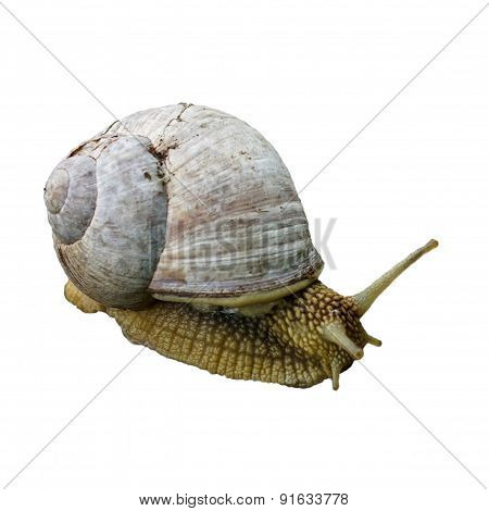 Helix Pomatia, Common Names The Burgundy Snail, Roman Snail, Edible Snail Or Escargot Isolated On Th