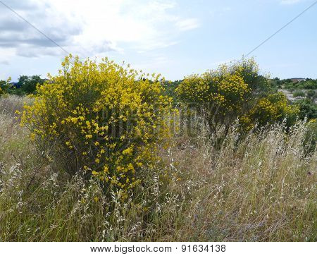 Broom and flowering grasses