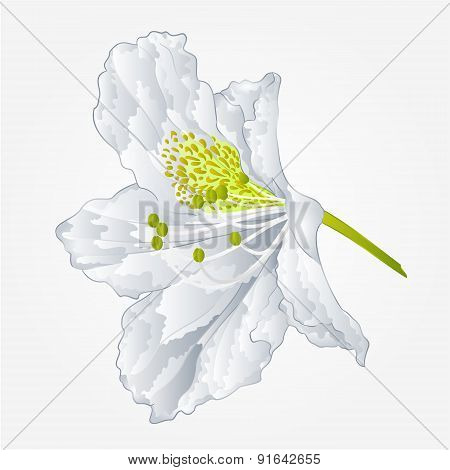 Flower White Simple Rhododendron Vector