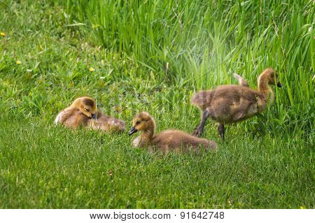 Three Goslings (branta Canadensis) In The Grass