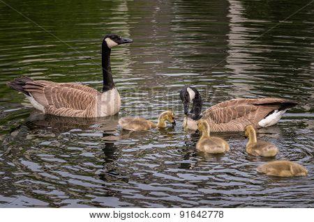 Canada Goose (branta Canadensis) Family Feeding Time