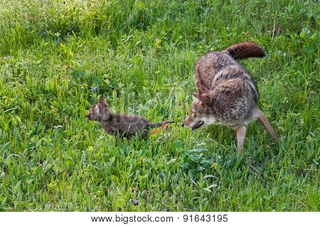Adult Coyote (canis Latrans) Chases Pup
